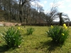 Daffodils in the Walled Garden