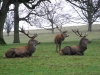 Red Deer Stags relaxing