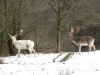 Fallow Deer Stags
