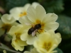 Bee and Primroses