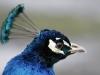 Peacock at the Roman Lakes