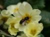 Bee on primrose