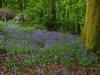 Bluebells at Etherow, Compstall, Stockport